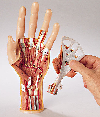 0244 18 Structural Anatomy Of The Hand And Wrist Model Denoyer