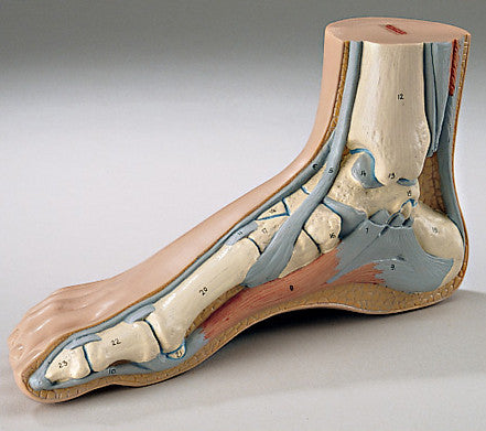 0248-30  Life-Size Human Foot Model Depicting Internal and External Anatomy