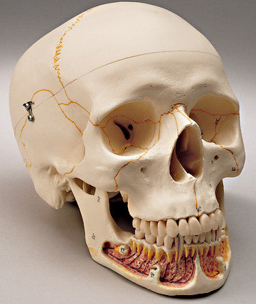 0255-00 Classic Three-part Skull. numbered