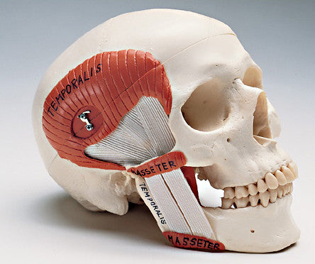 0289-24 Skull Featuring Functional Temperomandibular Joint (TMJ)