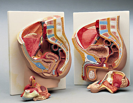 0310-00 Female and Male Pelvic Reproductive Section Set
