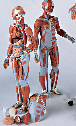 0346-55  Muscular Anatomy Figure with Internal Organs and Genitalia, 1/2 Scale