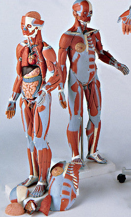 0347-56  Muscular Figure without Internal Organs, 1/2 Scale
