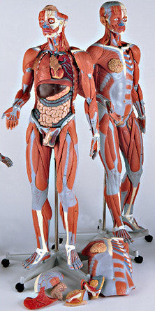 0348-50  Muscular Anatomy figure with Internal Organs and Interchangeable Genitalia, 3/4 Scale