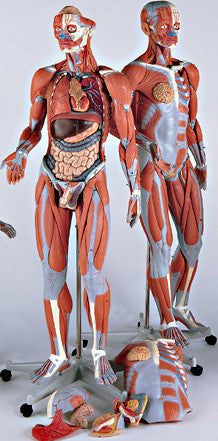 0349-51 Female Muscle Model on a metal stand without internal organs, 23-parts, 3/4 Life-Size