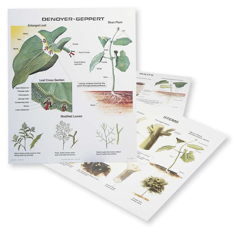 1025-13-AL  Plant Morphology Wall Charts, Set of three VINTAGE