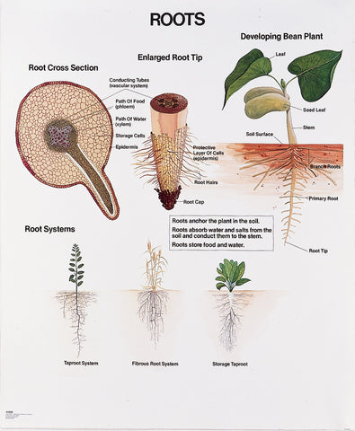 1026-01 Root Wall Chart, unmounted