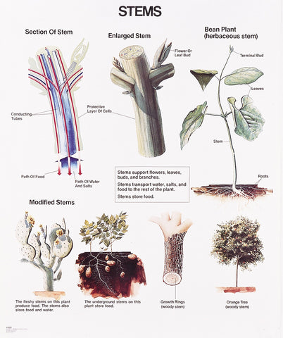 1027-01 Stems Wall Chart, unmounted