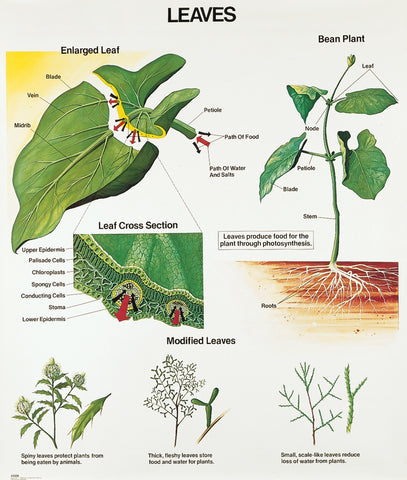 1028-10 Leaves Wall Chart