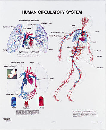 1091-10-AL Vintage Human Circulatory System Wall Chart with Aluminum Edging