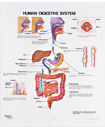 Vintage Human Digestive System Wall Chart with Aluminum Edging ...