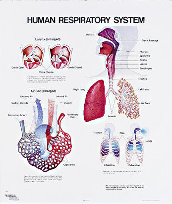 1093-01 Human Respiratory System Wall Chart, unmounted