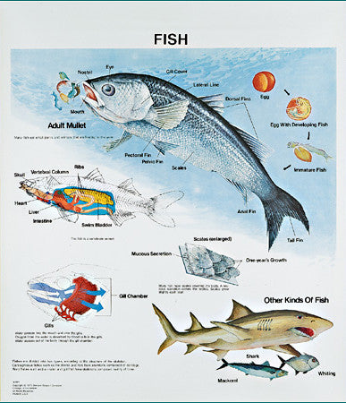 Vintage Fish Life History Wall Chart with Aluminum Edging