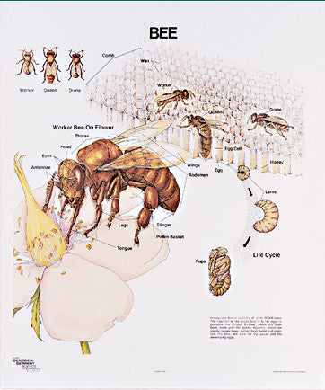 1095-10 Honeybee Life History Wall Chart, mounted