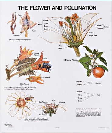 1097-10 The Flower and Pollination Wall Chart, mounted