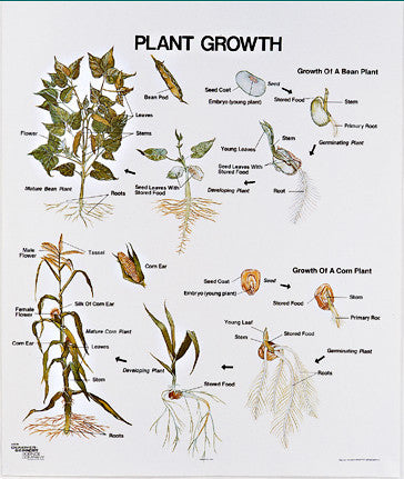 1098-10 Plant Growth Wall Chart, mounted