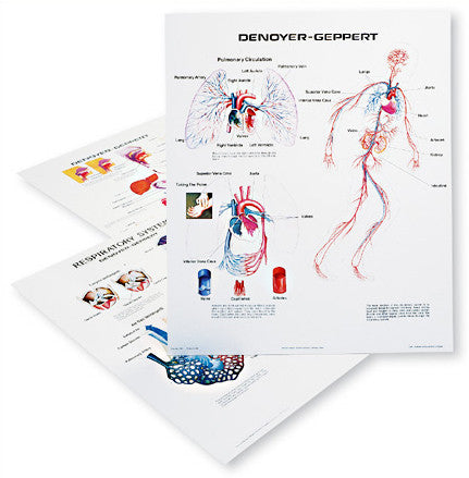1126-13  Human Body Systems Wall Charts, Set of three