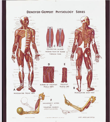 1402-10 Muscular System Physiology Poster mounted