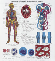 Photo of Circulatory System Physiology