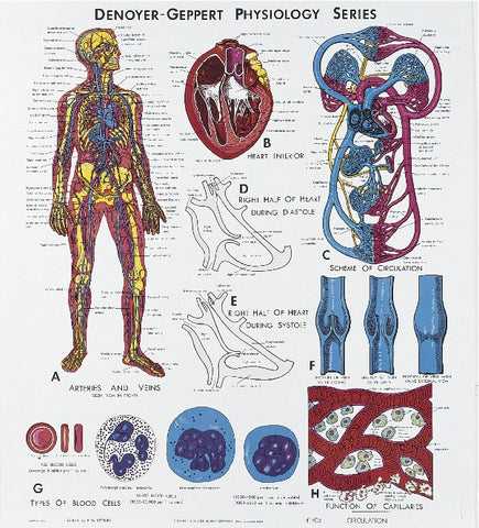 1404-10 Circulatory System Physiology mounted