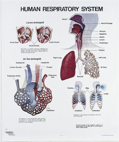 Respiratory System Physiology