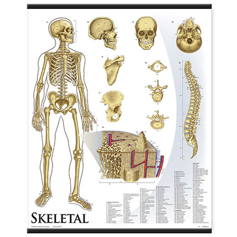 1421-01 Skeletal System Wall Chart, unmounted