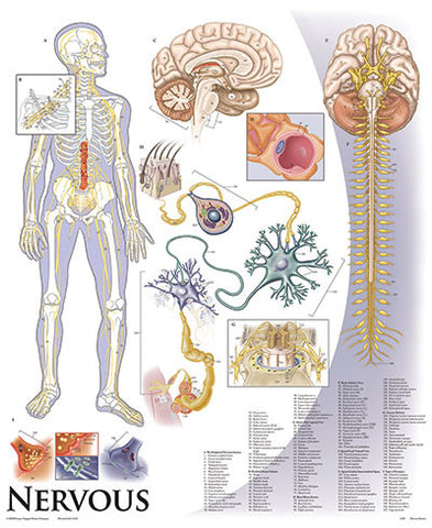 1423-10 Nervous System mounted