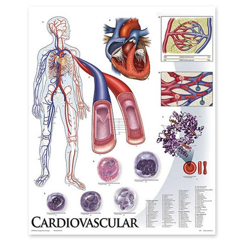 1424-01 Cardiovascular System, unmounted
