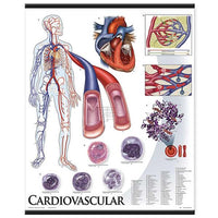 Photo of 1424-10 Cardiovascular System