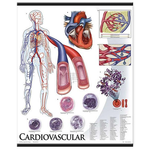 1424-10 Cardiovascular System, mounted