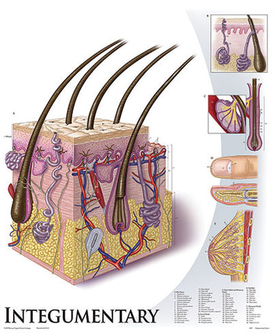 1428-10 Integumentary System, mounted