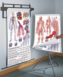 1435-32 Anatomy and Physiology 11 Chart Set on spring-roller wall-mounted system