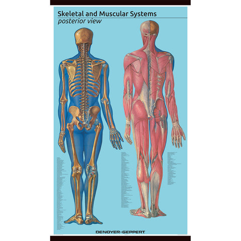 1582 10 Giant Posterior View Skeletal And Muscular System Denoyer