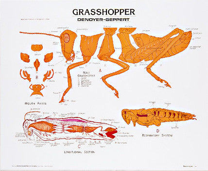 1886-10  Grasshopper mounted