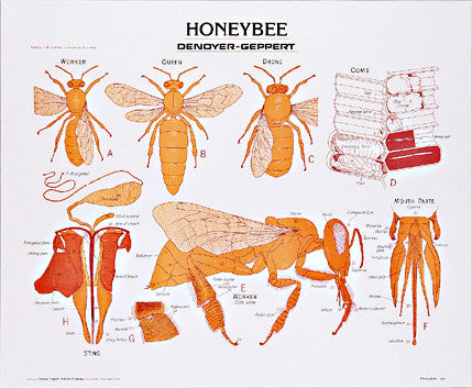 1887-01 Honeybee, unmounted