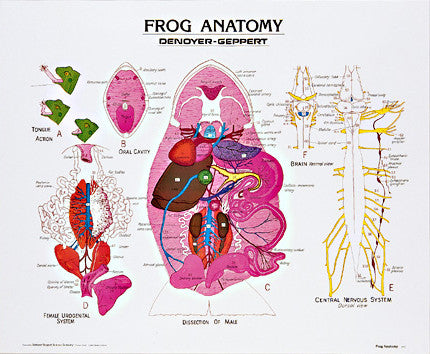 1891-10 Frog Anatomy – Denoyer-Geppert Science Company