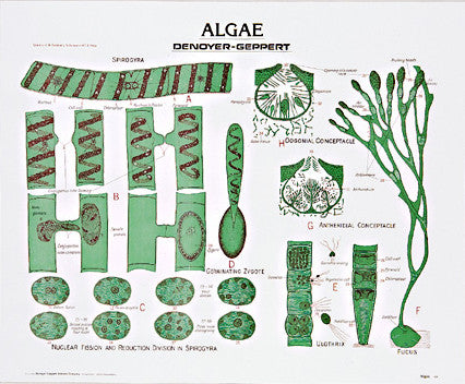 1894-10  Green and Brown Algae