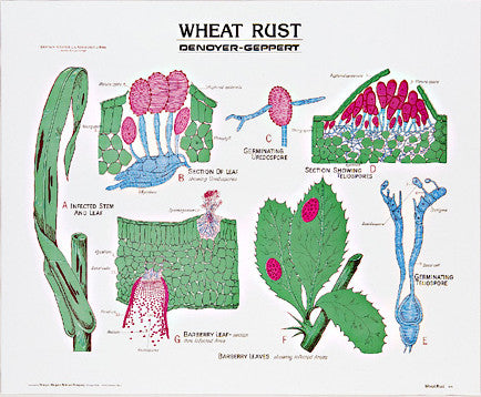 1895-10  Wheat Rust Life History