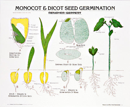 1900-10  Monocot and Dicot Seed Germination
