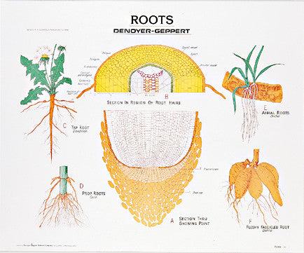 1901-10  Roots