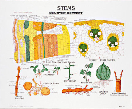 1902-01  Stems Chart, unmounted