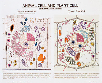 1911-10  Animal and Plant Cell