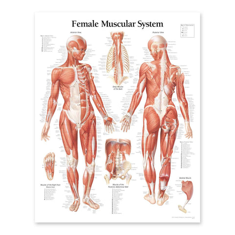 2111-08 Female Muscular System Anatomical Chart
