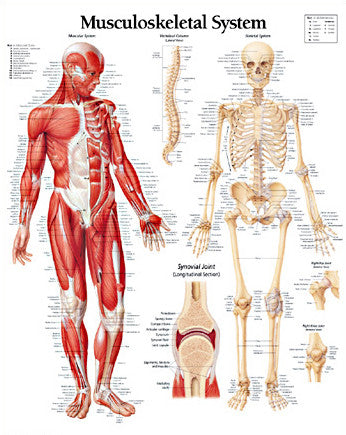 2112-08 Musculoskeletal System
