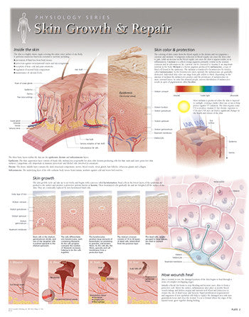 Skin Growth and Repair Poster