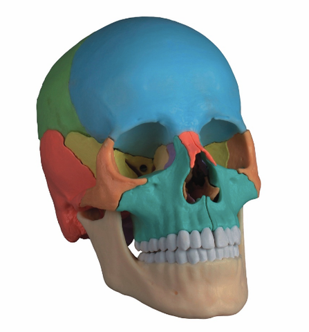 SK29P Beauchene Adult Human Skull Model - Didactic Colored Version, 22 part