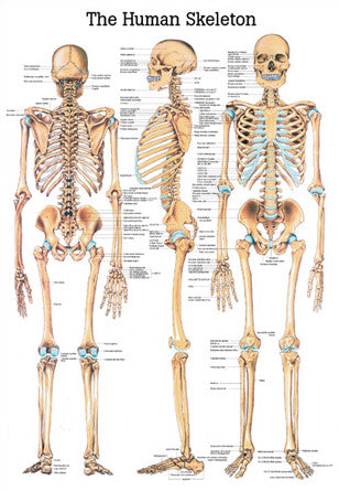 3003P-08 The Human Skeleton