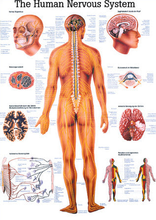 3005P-08 The Human Nervous System