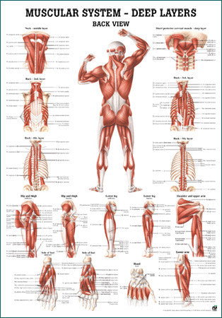 3037P-08 Muscular System, Deep Layers, Rear