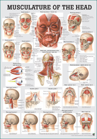3047P-08 Muscles of the Head